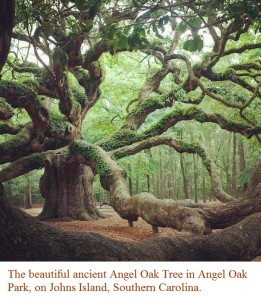 The beautiful ancient Angel Oak Tree in Angel Oak Park, on Johns Island, Southern Carolina