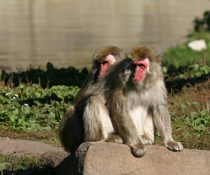 Japanese_Macaque