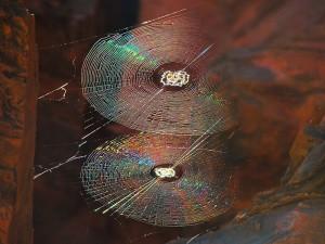 Spiral_Orb_Webs