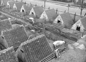 """Zentralbild Biscan 28.3.1957 Schweinedorf im Kreis Staßfurt. Die LPG """"Ernst Thälmann"""" in Förderstadt, Kreis Staßfurt, hat zur Zeit rund tausend Schweine, darunter hundert Sauen. Die Läufer, Jungeber und Jungsauen sind in 37 Schweinehütten untergebracht, die zusammen ein kleines Dorf bilden. Die Schweinehütten haben sich bei der LPG gut bewährt. Nur zum Abferkeln werden die Sauen in gemauerte Ställe gebracht. UBz: Blick auf einen Teil des Schweinedorfes der LPG. Alle Schweinehütten sind mit Ziegel gedeckt, wodurch sie auch bei starkem Regen innen trocken bleiben."""""""